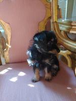 YorkiePoo Puppies for sale in Sun City, AZ, USA. price: NA