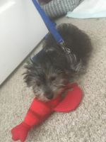 YorkiePoo Puppies for sale in Lithonia, GA 30058, USA. price: NA