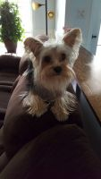 YorkiePoo Puppies for sale in Jacksonville, NC, USA. price: NA