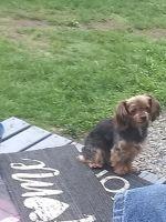 YorkiePoo Puppies for sale in Roy, WA 98580, USA. price: NA