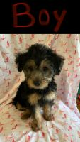 YorkiePoo Puppies for sale in Woodbridge, VA 22191, USA. price: NA