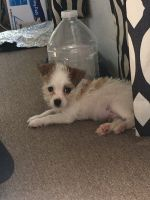 YorkiePoo Puppies for sale in Clarksville, TN 37042, USA. price: NA