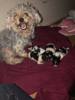 YorkiePoo Puppies for sale in 636 N Central Park Ave, Chicago, IL 60624, USA. price: NA