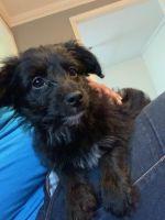 YorkiePoo Puppies for sale in Darlington, SC 29532, USA. price: NA