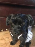 YorkiePoo Puppies for sale in Chicago, IL, USA. price: NA