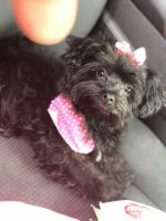 YorkiePoo Puppies for sale in Allendale, SC 29810, USA. price: NA