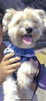 YorkiePoo Puppies for sale in Peekskill, NY, USA. price: NA