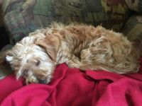 YorkiePoo Puppies for sale in WASHGTNS BRHP, VA 22443, USA. price: NA