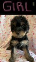YorkiePoo Puppies for sale in Woodbridge, VA 22193, USA. price: NA