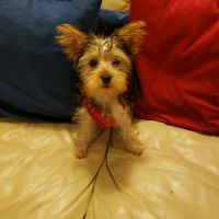 YorkiePoo Puppies for sale in The Bronx, NY, USA. price: NA