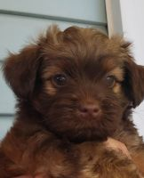 YorkiePoo Puppies for sale in Redding, CA, USA. price: NA