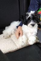 YorkiePoo Puppies for sale in Skokie, IL, USA. price: NA