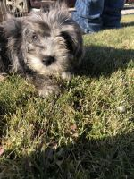 YorkiePoo Puppies for sale in Grand Junction, CO, USA. price: NA
