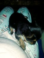 YorkiePoo Puppies for sale in 16831 May Ave, Eastpointe, MI 48021, USA. price: NA