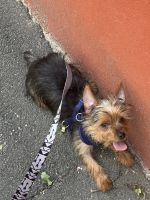 YorkiePoo Puppies for sale in Paterson, NJ, USA. price: NA