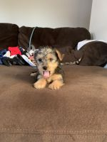 YorkiePoo Puppies for sale in Hollister, CA 95023, USA. price: NA