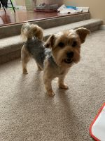 YorkiePoo Puppies for sale in Snellville, GA, USA. price: NA