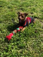 YorkiePoo Puppies for sale in Jersey City, NJ, USA. price: NA