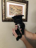 YorkiePoo Puppies for sale in Virginia Beach, VA, USA. price: NA