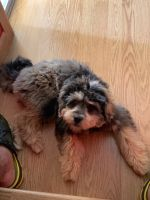 YorkiePoo Puppies for sale in 2717 Jacquelyn Ln, Waukegan, IL 60087, USA. price: NA