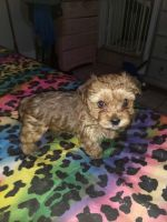 YorkiePoo Puppies for sale in Clarksville, TN 37040, USA. price: NA