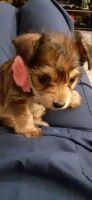 YorkiePoo Puppies for sale in San Antonio, TX, USA. price: NA