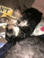 YorkiePoo Puppies for sale in Trion, GA 30753, USA. price: NA