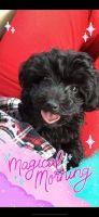 YorkiePoo Puppies for sale in Wimauma, FL 33598, USA. price: NA