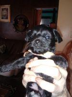 YorkiePoo Puppies for sale in Flint, MI, USA. price: NA