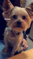 YorkiePoo Puppies for sale in West Orange, NJ 07052, USA. price: NA