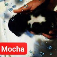 YorkiePoo Puppies for sale in Henrico, VA 23075, USA. price: NA