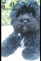 YorkiePoo Puppies for sale in Columbia, SC, USA. price: NA
