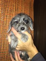 YorkiePoo Puppies for sale in Gilbert, MN, USA. price: NA