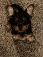YorkiePoo Puppies for sale in Baton Rouge, LA, USA. price: NA