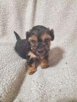 YorkiePoo Puppies for sale in Syracuse, NY, USA. price: NA