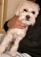 YorkiePoo Puppies for sale in Copperas Cove, TX 76522, USA. price: NA