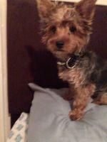 YorkiePoo Puppies for sale in Elizabeth, NJ, USA. price: NA