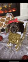 YorkiePoo Puppies for sale in Las Vegas, NV 89142, USA. price: NA