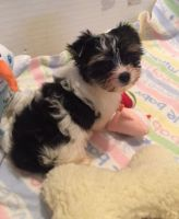 YorkiePoo Puppies for sale in 114-34 121st St, Jamaica, NY 11420, USA. price: NA