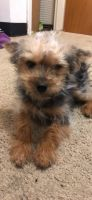 YorkiePoo Puppies for sale in Waterbury, CT, USA. price: NA