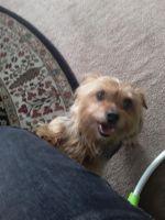 YorkiePoo Puppies for sale in Ypsilanti, MI, USA. price: NA