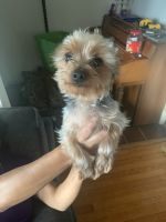 YorkiePoo Puppies for sale in 715 Westmoreland Ave, Waukegan, IL 60085, USA. price: NA
