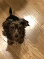 YorkiePoo Puppies for sale in Putnam, CT, USA. price: NA