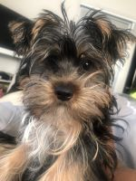 YorkiePoo Puppies for sale in Farmington Hills, MI, USA. price: NA