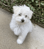 YorkiePoo Puppies for sale in North Hollywood, Los Angeles, CA, USA. price: NA