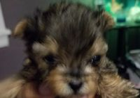 YorkiePoo Puppies for sale in Aston, PA, USA. price: NA