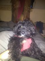 YorkiePoo Puppies for sale in Lawrence County, PA, USA. price: NA