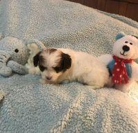 YorkiePoo Puppies for sale in Benson, NC 27504, USA. price: NA