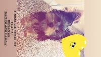 YorkiePoo Puppies for sale in Pearland, TX, USA. price: NA