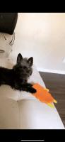 YorkiePoo Puppies for sale in Jonesboro, GA 30238, USA. price: NA